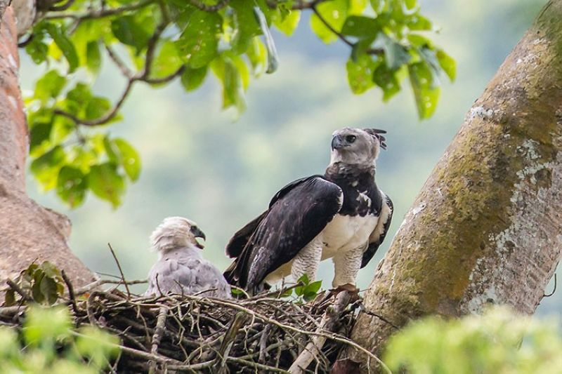 PANAMA. This June 2013 photo provided by Carlos Navarro shows a female harpy eagle and its young in a nest in Darién Province, Panama. (AP)