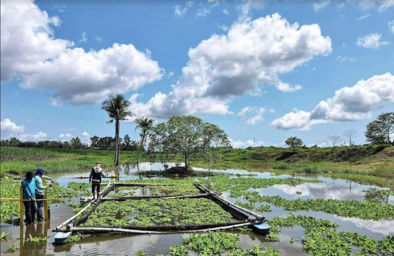Victorias Milling Company's rehabilitated lagoons in Manapla town are filled with lush vegetation and have become a fishing ground. For the firm, it dispels claims of pollution. (Contributed Photo)