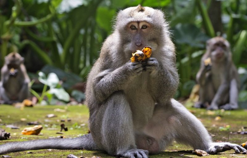 INDONESIA. Macaques eat bananas during feeding time at Sangeh Monkey Forest in Sangeh, Bali Island, Indonesia, Wednesday, September 1, 2021. Deprived of their preferred food source - the bananas, peanuts and other goodies brought in by the tourists now kept away by the coronavirus - hungry monkeys on the resort island of Bali have taken to raiding villagers' homes in the search for something tasty. (AP Photo)