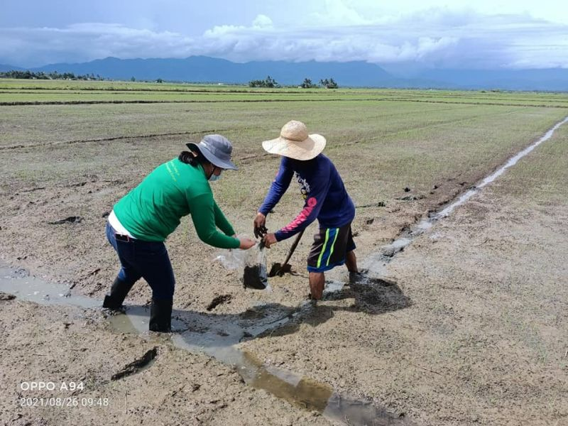 HELPING FARMERS. A technician from the Department of Agriculture-Central Luzon helps a farmer in assessing the rice paddies in the region.  (DA)