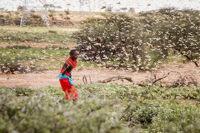 KENYA. In this file photo taken on January 16, 2020, a Samburu boy uses a wooden stick to try to swat a swarm of desert locusts filling the air, as he herds his camel near the village of Sissia, in Samburu county, Kenya. (AP)