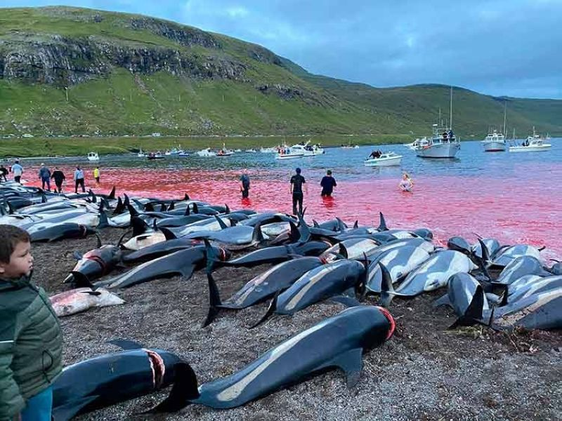 FAEROE ISLANDS. In this image released by Sea Shepherd Conservation Society, the carcasses of dead white-sided dolphins lay on a beach after being pulled from the blood-stained water on the island of Eysturoy which is part of the Faeroe Islands Sunday, September 12, 2021. (AP)