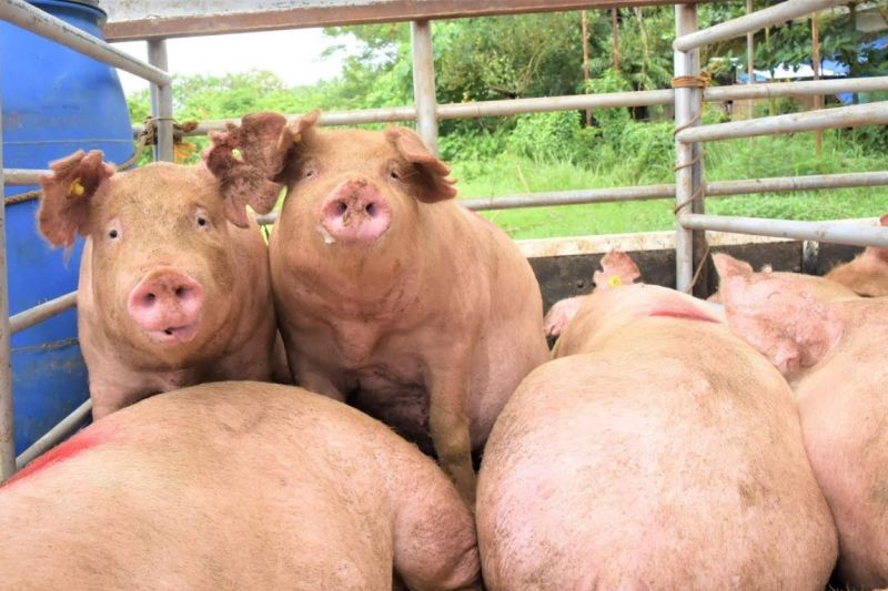 NEGROS OCCIDENTAL. Six local government units in the Fourth District receive P1.44 million worth of swine from the Provincial Government of Negros Occidental yesterday, September 16. (Capitol photo)