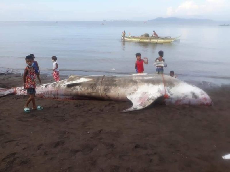 NEGROS. A dead whale shark was found inside the fish pen in Pulupandan town over the weekend. (Eren Borja Photo)