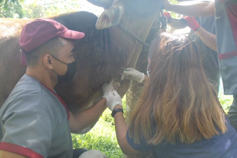 ZAMBOANGA. The Department of Agriculture (DA)-Zamboanga Peninsula has conducted a week-long blood sample collection in six municipalities in Zamboanga del Sur as is part of the agency's animal disease monitoring and surveillance strategies. A photo handout shows DA personnel collect blood sample from a cow in one of the six towns of the province. (SunStar Zamboanga)