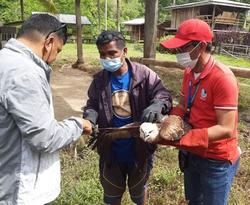 BRAHMINY KITE. Personnel of the Department of Environment and Natural Resources (DENR) retrieve a juvenile Brahminy Kite last week and place it under rehabilitation in preparation for release back to the wild. A photo handout shows the DENR personnel measuring the wingspan of the bird upon retrieval. (SunStar Zamboanga)